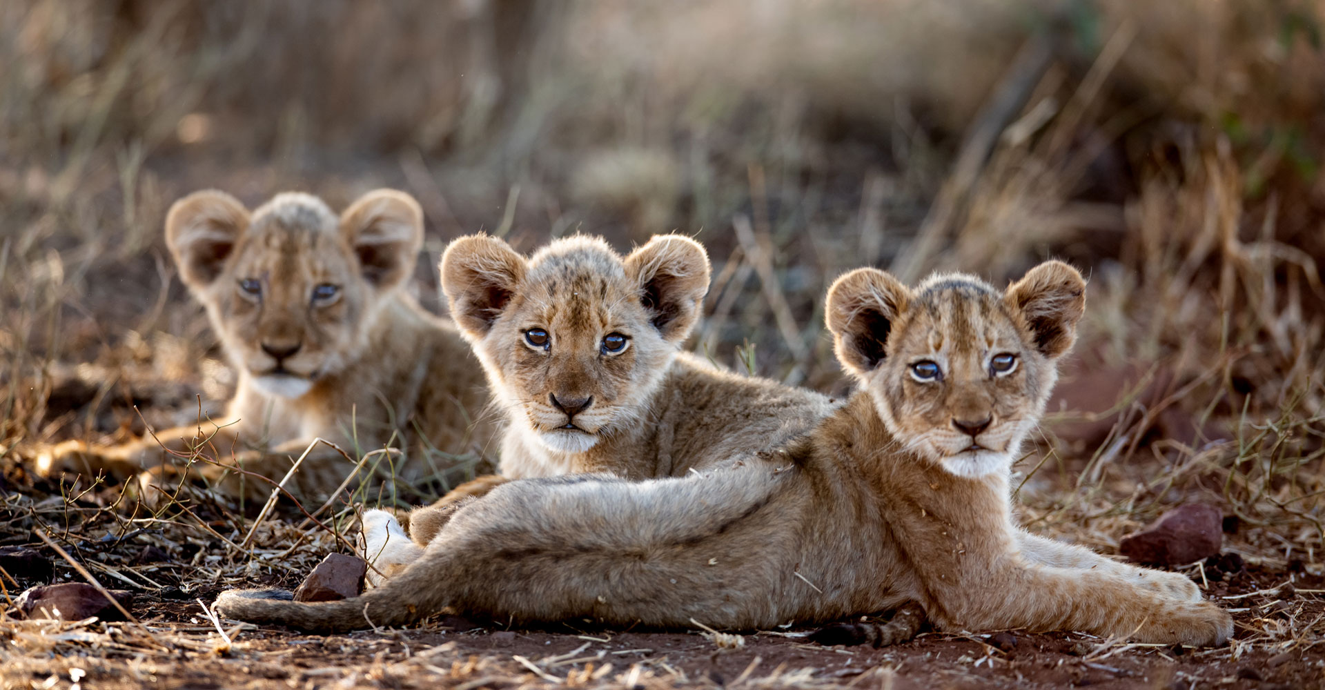 Home-Page-Singita-Lion-_-Singita-Kruger-National-Park-_-Ross-Couper-10