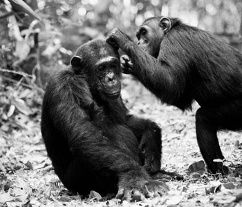 Chimps in Tanzania